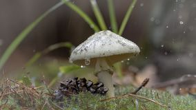 Amanita Phalloides grzyb, jadowity temat w dzikiej górze zamkniętej w górę deszczowego dnia na zdjęcie stock