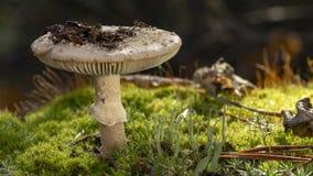 Amanita Phalloides grzyb, jadowity temat w dzikiej górze zamkniętej w górę deszczowego dnia na fotografia royalty free