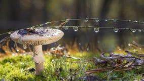 Amanita Phalloides grzyb, jadowity temat w dzikiej górze zamkniętej w górę deszczowego dnia na zdjęcia stock