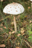 Amanita phalloides, known as the death cap Stock Image