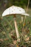 Amanita phalloides, known as the death cap Royalty Free Stock Photos