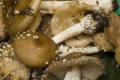 Amanita phalloides mushrooms Stock Image