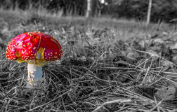 Amanita. Photo of Amanita was taken in Black country park Langley,UK royalty free stock photos