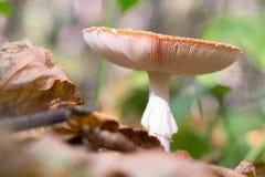 Amanita pieczarka w lesie Obraz Stock