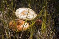Amanita pieczarkowy brown kolor w łące Fotografia Stock