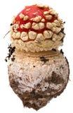 Amanita poisonous mushroom, isolated Royalty Free Stock Photography