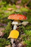 Amanita poisonous mushroom Royalty Free Stock Image