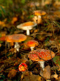 Amanita poisonous mushroom in the woods Stock Photography
