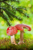 Amanita poisonous mushrooms Royalty Free Stock Image