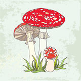Amanita. Poisonous red-cup Mushroom in the grass Stock Photo