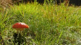 Amanita poisonous red mushroom in Europe forest stock video footage