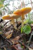 Amanita que cresce sob um pinheiro. Fotos de Stock Royalty Free