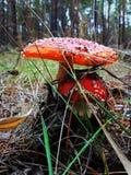 Amanita roja de la seta del bosque Imagen de archivo libre de regalías