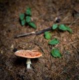 Amanita roja Muscaria de la seta en sotobosque Fotos de archivo