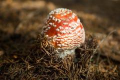 Amanita roja Muscaria de la seta en sotobosque Imagen de archivo