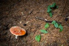 Amanita roja Muscaria de la seta en sotobosque Foto de archivo