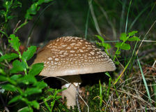 Amanita Rubescens (The Blusher) Royalty Free Stock Photo