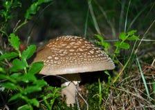 Amanita Rubescens (The Blusher). Edible mushroom shot at its natural habitat Royalty Free Stock Photo