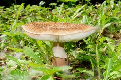 Amanita rubescens the blusher Stock Image