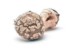 Amanita rubescens mushroom Royalty Free Stock Photography