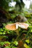 Amanita rubescens. The wet grass in the forest in the autumn Royalty Free Stock Photo
