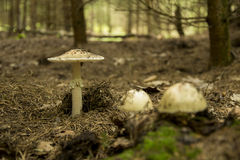 Amanita rubescens, white edible mushroom Stock Photos