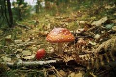 Amanita, seta venenosa en el bosque Fotografía de archivo