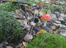 Amanita on the swamp Stock Photo