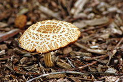 Amanita toadstool. Toxic amanita toadstool, growing in a forest Royalty Free Stock Image