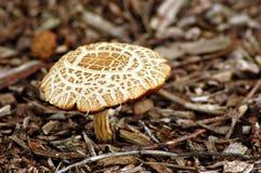 Amanita toadstool Royalty Free Stock Image