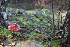 Amanita toadstool closeup Royalty Free Stock Photo