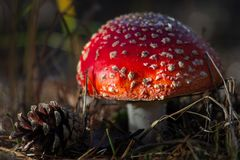 Amanita toxic poison red mushroom in the forest close up. Macro photography.  royalty free stock images