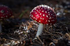 Amanita toxic poison red mushroom in the forest close up. Macro photography.  stock photos