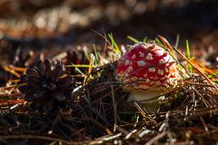 Amanita toxic poison red mushroom in the forest close up. Macro photography.  royalty free stock photo