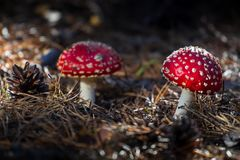 Amanita toxic poison red mushroom in the forest close up. Macro photography.  stock photo