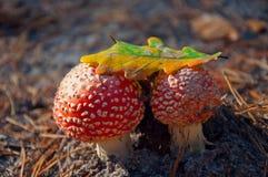 Amanita. Two mushroom under the oak leaf Royalty Free Stock Image