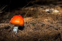 Amanita vermelho Muscaria do cogumelo no Underwood Fotos de Stock