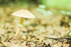 Amanita verna Mushroom Stock Photos