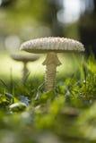 Amanita vittadinii mushroom Stock Image