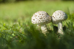 Amanita vittadinii mushroom Royalty Free Stock Photos