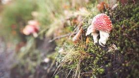 Amanitachampinjoner som döljas i gräs Royaltyfria Foton