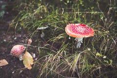 Amanitachampinjoner som döljas i gräs Arkivbild