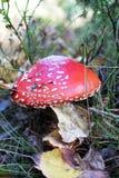Amanitamuscaria Arkivfoton