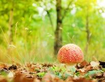 Amanitamuscaria i gräset Royaltyfri Fotografi