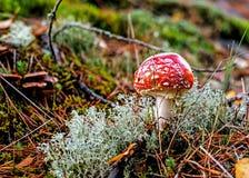 Amanitamuscaria i skog Fotografering för Bildbyråer