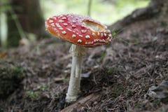 Amanitamuscaria i skogen - giftig giftsvamp Royaltyfria Bilder