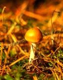 Amanitavaginata - grisette Royaltyfri Fotografi