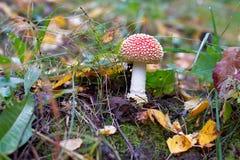 Amanite de champignon de couche Photographie stock libre de droits