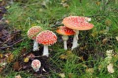 Amanite de champignon de couche Photographie stock