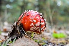 Amanite de champignon de couche ou agaric de mouche Photos libres de droits